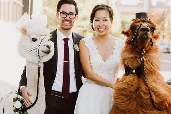 Weddinglamas