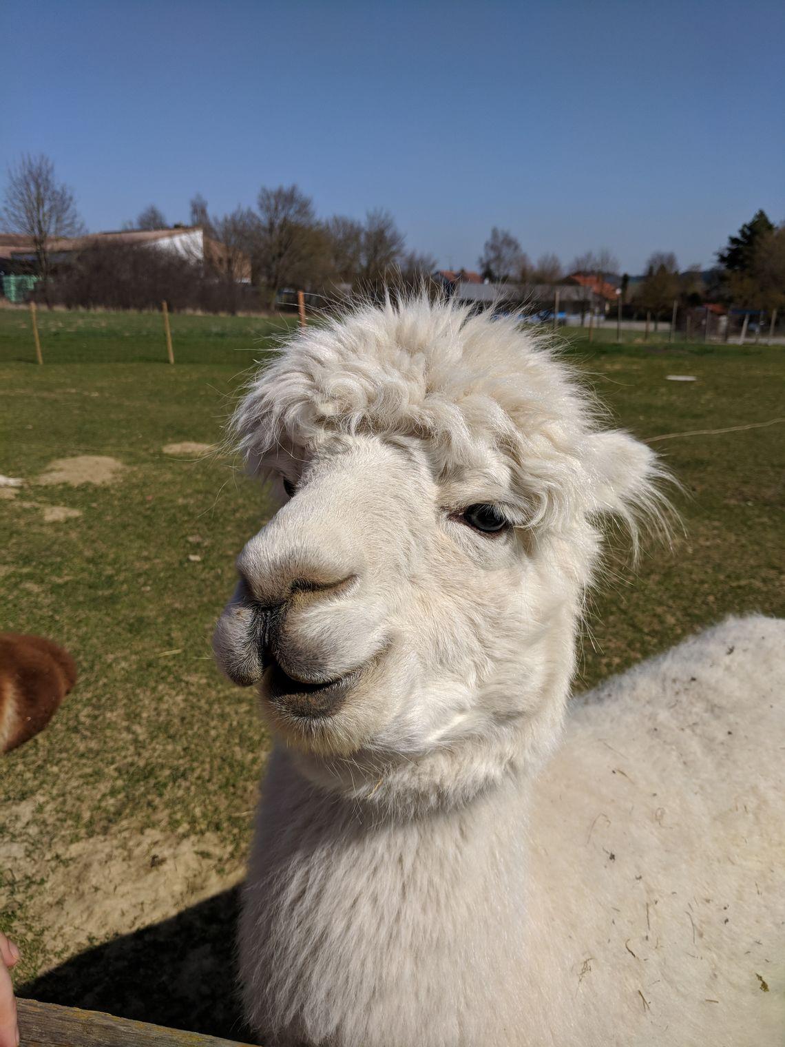 Das ist übrigens Fernando. Das Alpaka, das uns die Augen öffnen konnte.