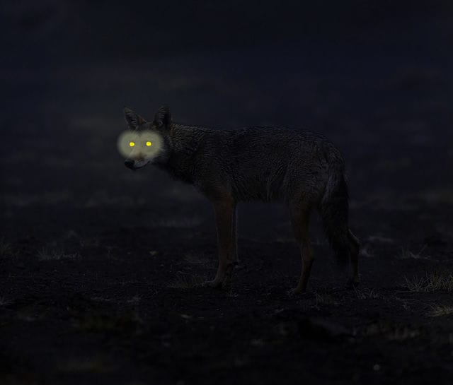 coyote neu
