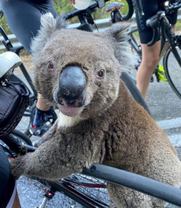 Koala Australien Cover
