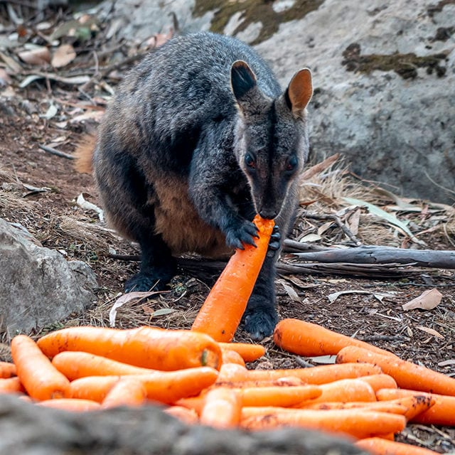 karotten wallaby